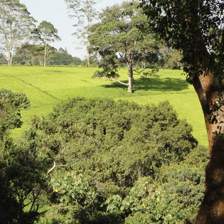 Kiambethu tea farm, Central, Kenya