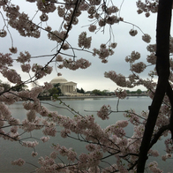Cherry Blossoms, Washington, District of Columbia