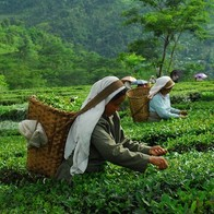 Glenburn Tea Estate, Darjeeling, India