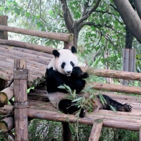 Panda Sanctuary, Chengdu, China