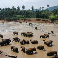 Pinnawala Elephant Orphanage, Pinnawala, Sri Lanka