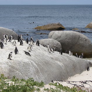 Boulders Penguin Colony, Cape Town, South Africa