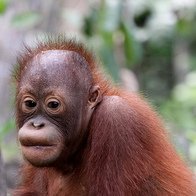 Orangutan Foundation, Central Kalimantan, Indonesia