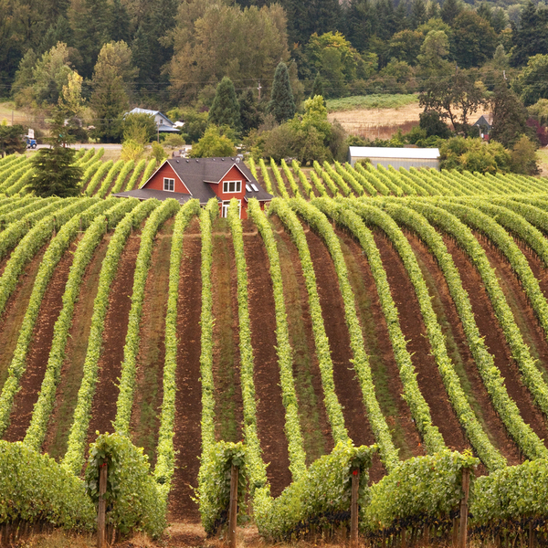 Vineyards Near Newberg, Oregon, USA, Newberg, Oregon