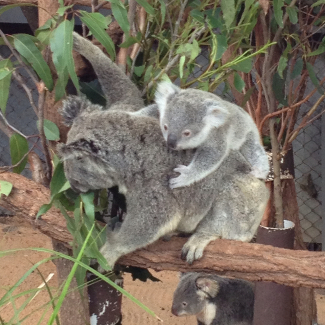 Lone Pine Koala Sanctuary, Fig Tree Pocket, Australia