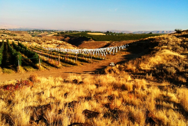 Wilridge Vineyard, Yakima, Washington