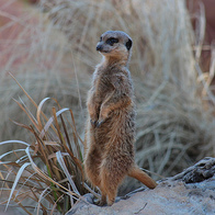 Meerkats of the Kalahari, Ngamiland North, Botswana