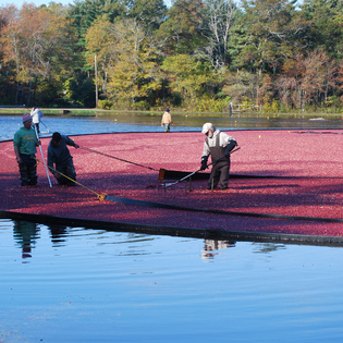 Mayflower Cranberries, Plympton, Massachusetts