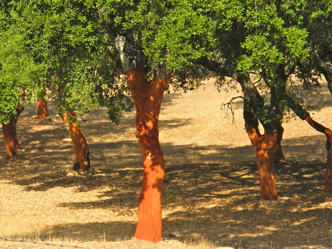 Cork Trees, Santa Maria, Portugal