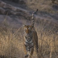 Ranthambore National Park, Prempura, India