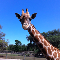 Giraffe Farm, Dade City, Florida
