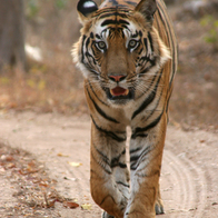 Bandhavgarh National Park, Pipraundh, India