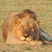 Photos_page_thumb_kristen-kenedy-lion2